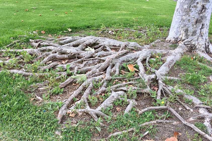 overgrown tree roots